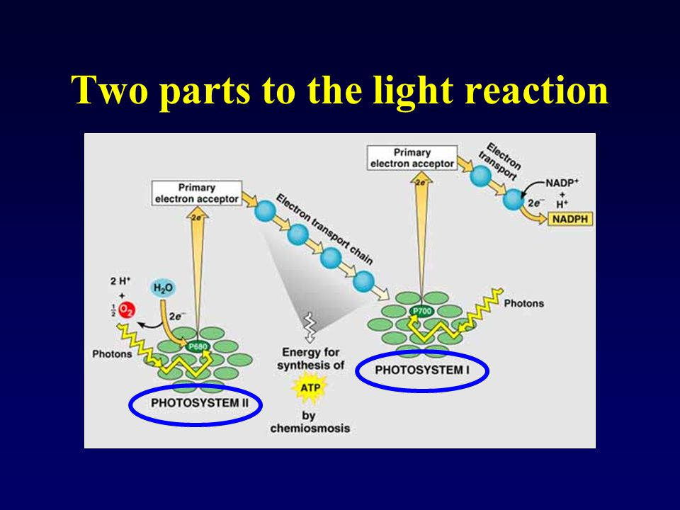 Two parts to the light reaction