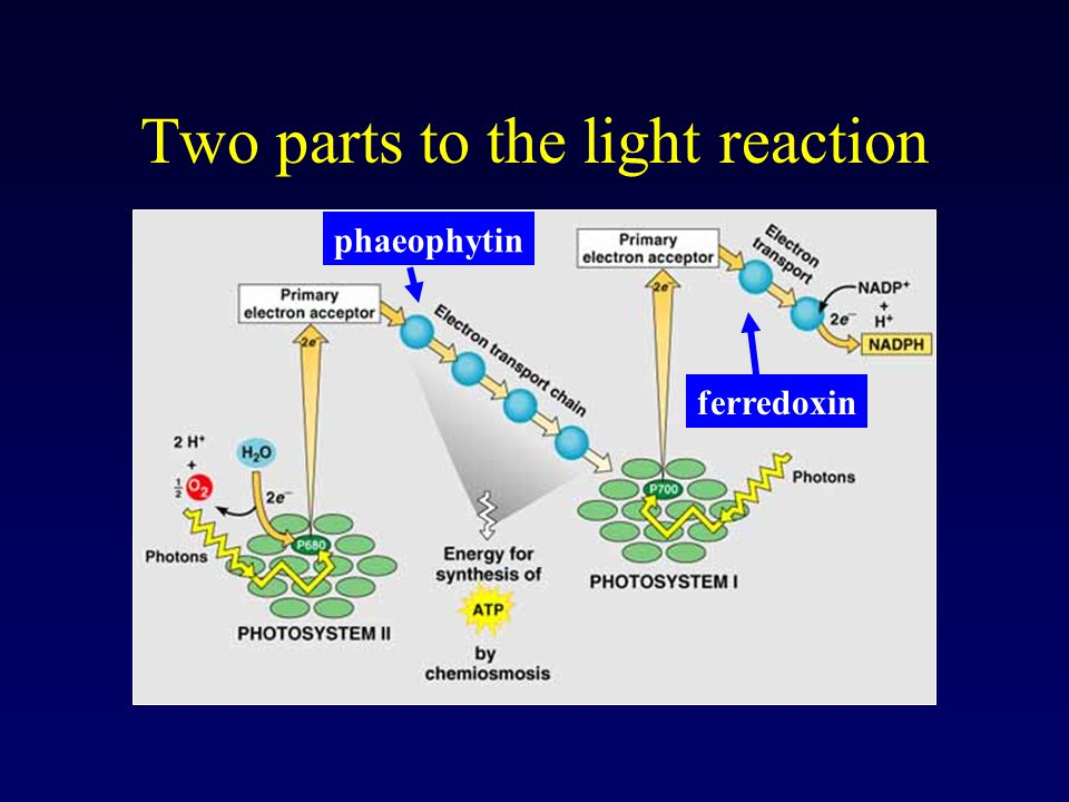 Two parts to the light reaction phaeophytin ferredoxin