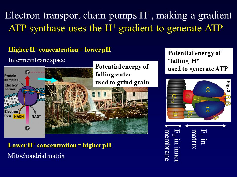 Electron transport chain pumps H +, making a gradient F o in inner membrane F 1 in matrix Lower H + concentration = higher pH Mitochondrial matrix Higher H + concentration = lower pH Intermembrane space ATP synthase uses the H + gradient to generate ATP Potential energy of falling water used to grind grain Potential energy of 'falling' H + used to generate ATP