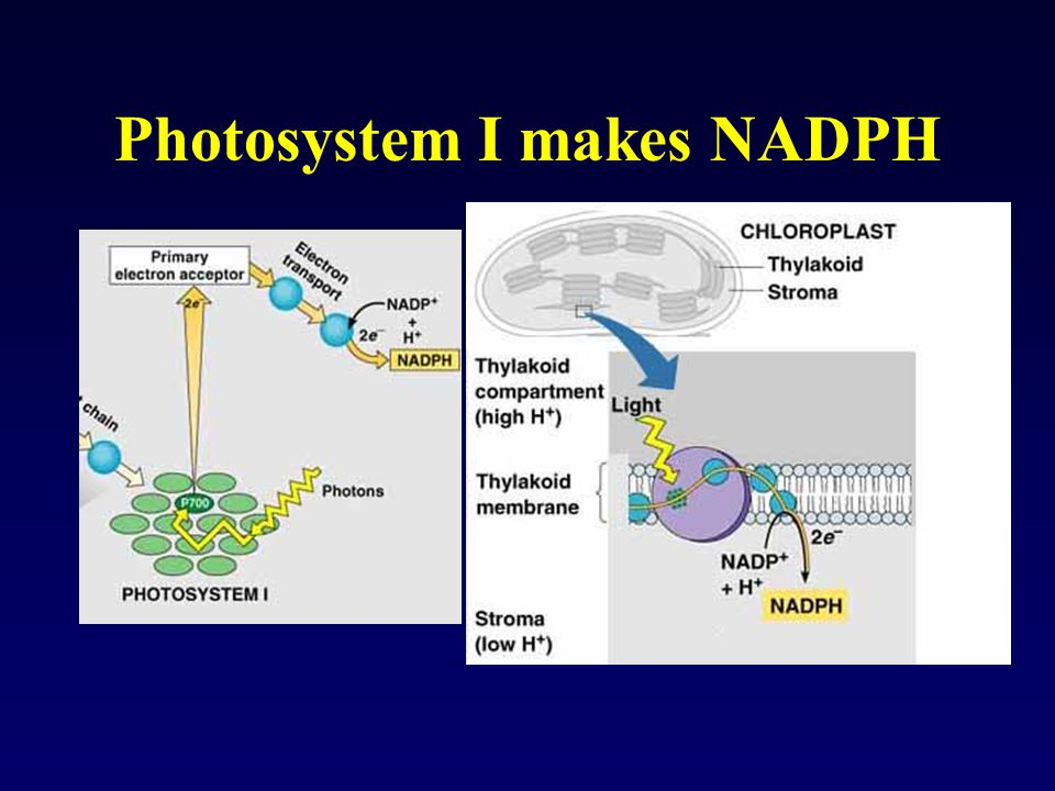 Photosystem I makes NADPH
