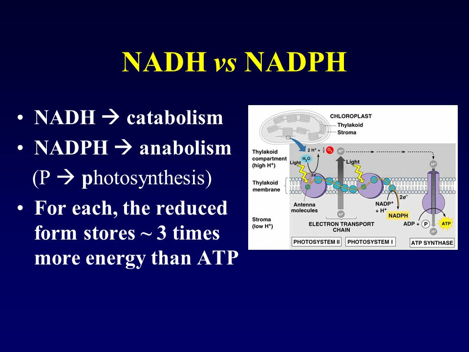 NADH vs NADPH NADH  catabolism NADPH  anabolism (P  photosynthesis) For each, the reduced form stores ~ 3 times more energy than ATP