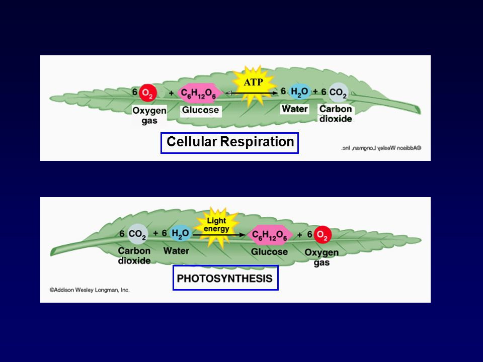 A series of redox reactions …. PHOTOSYNTHESIS RESPIRATION PHOTOSYNTHESIS