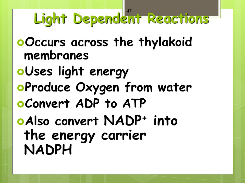 Light Dependent Reactions  Occurs across the thylakoid membranes  Uses light energy  Produce Oxygen from water  Convert ADP to ATP  Also convert NADP + into the energy carrier NADPH 47