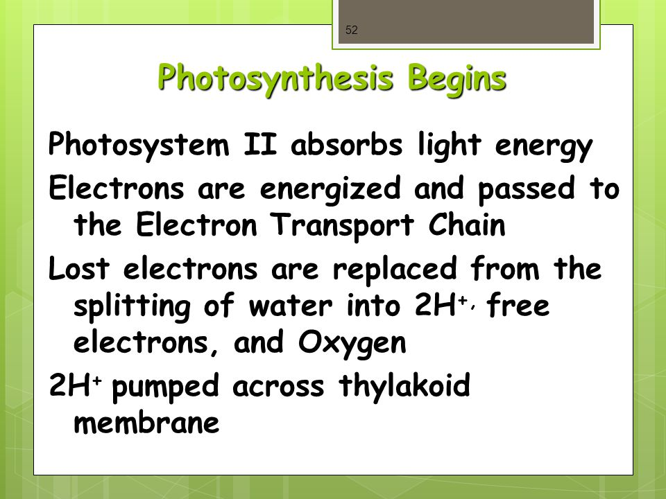 Photosynthesis Begins 52 Photosystem II absorbs light energy Electrons are energized and passed to the Electron Transport Chain Lost electrons are replaced from the splitting of water into 2H +, free electrons, and Oxygen 2H + pumped across thylakoid membrane