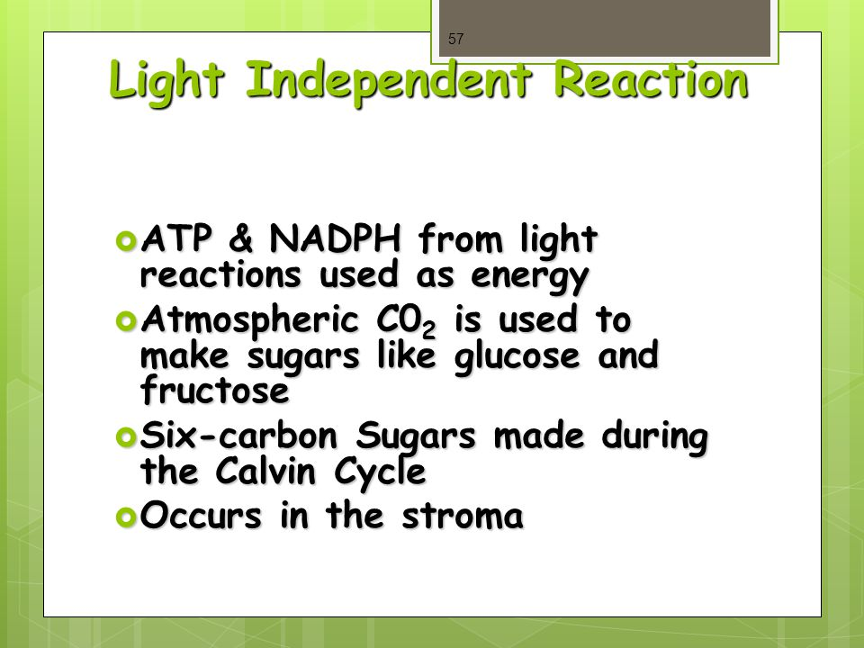 Light Independent Reaction  ATP & NADPH from light reactions used as energy  Atmospheric C0 2 is used to make sugars like glucose and fructose  Six-carbon Sugars made during the Calvin Cycle  Occurs in the stroma 57