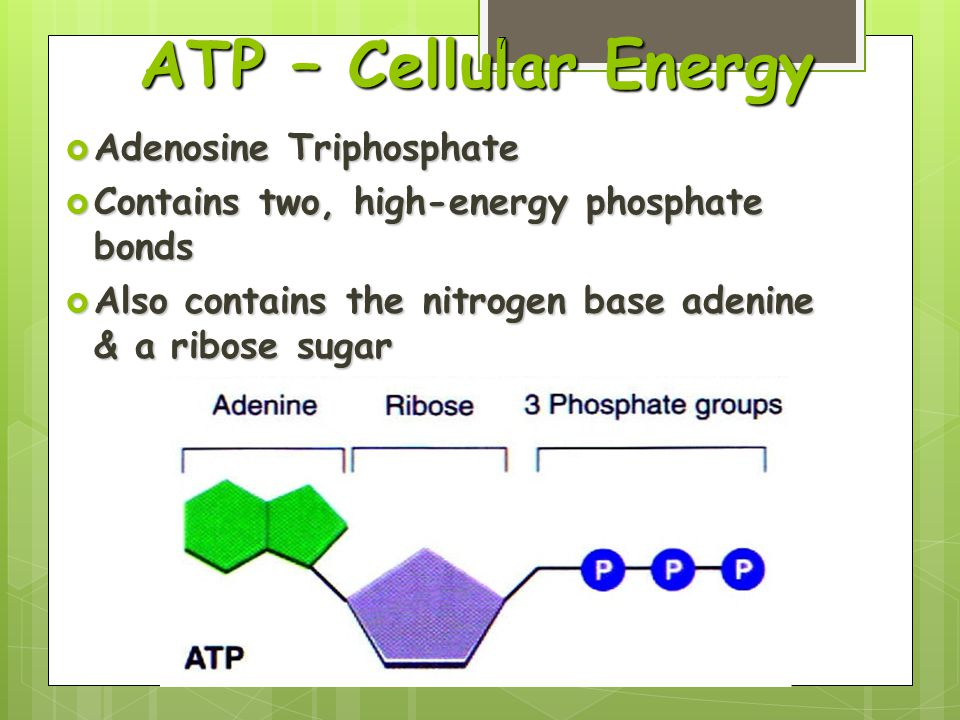 ATP – Cellular Energy  Adenosine Triphosphate  Contains two, high-energy phosphate bonds  Also contains the nitrogen base adenine & a ribose sugar 7
