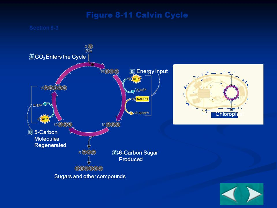 ChloropIast CO 2 Enters the Cycle Energy Input 5-Carbon Molecules Regenerated Sugars and other compounds 6-Carbon Sugar Produced Section 8-3 Figure 8-11 Calvin Cycle Go to Section: