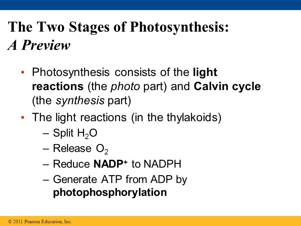 The Two Stages of Photosynthesis: A Preview Photosynthesis consists of the light reactions (the photo part) and Calvin cycle (the synthesis part) The