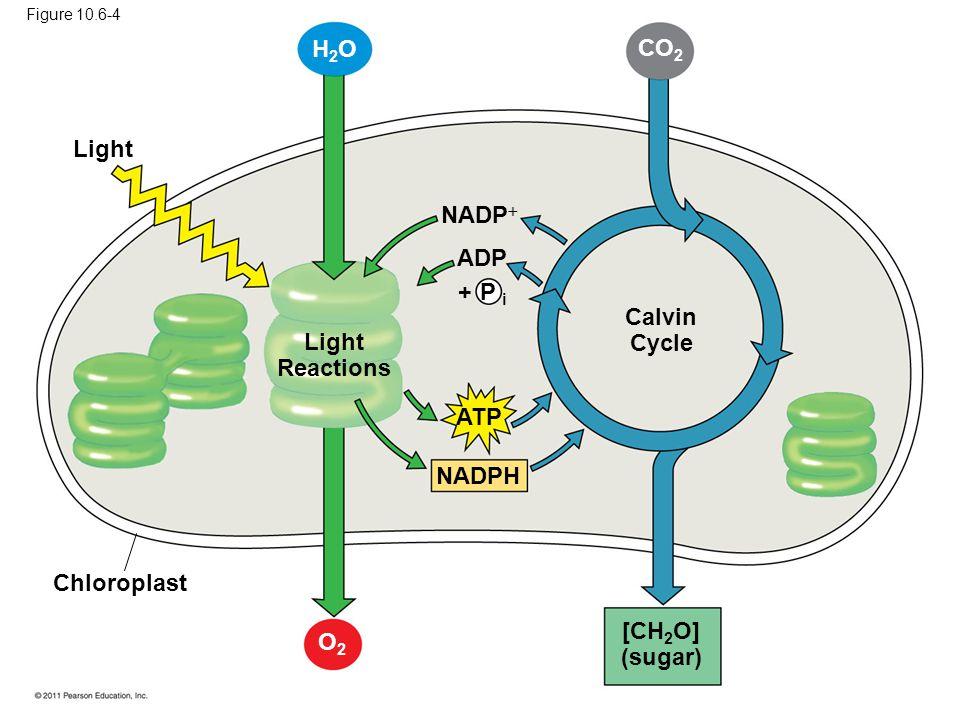 Light Light Reactions Calvin Cycle Chloroplast [CH 2 O] (sugar) ATP NADPH NADP  ADP + P i H2OH2O CO 2 O2O2 Figure 10.6-4