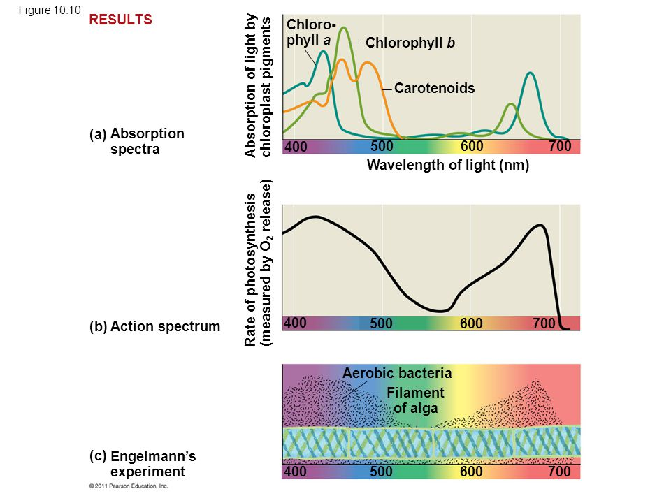 (b) Action spectrum (a) Absorption spectra Engelmann's experiment (c) Chloro- phyll a Chlorophyll b Carotenoids Wavelength of light (nm) Absorption of