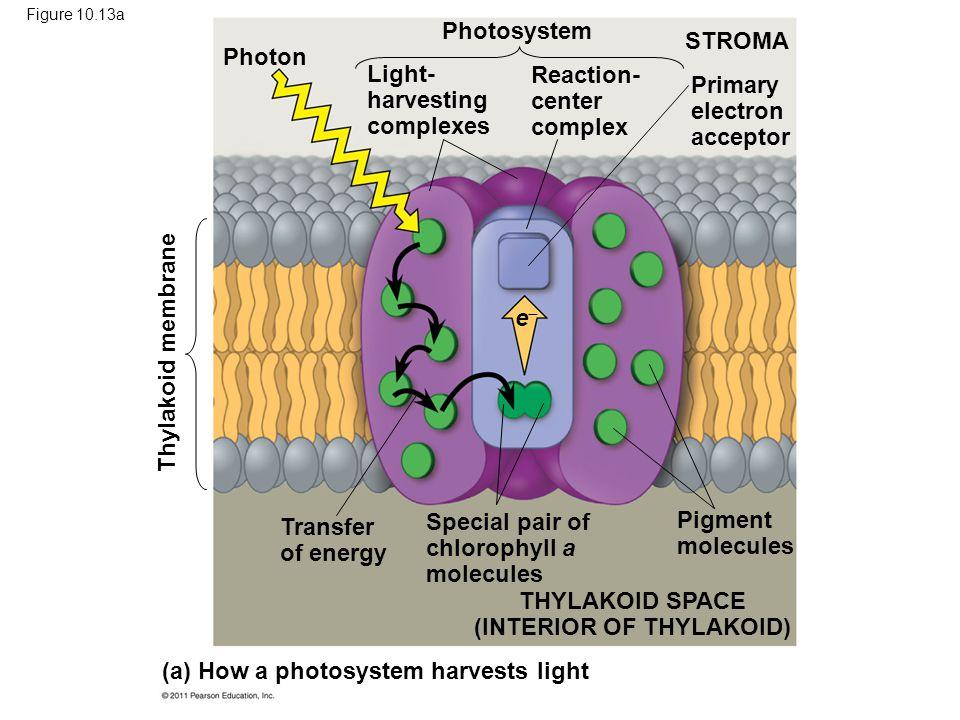 Figure 10.13a (a) How a photosystem harvests light Thylakoid membrane Photon Photosystem STROMA Light- harvesting complexes Reaction- center complex P