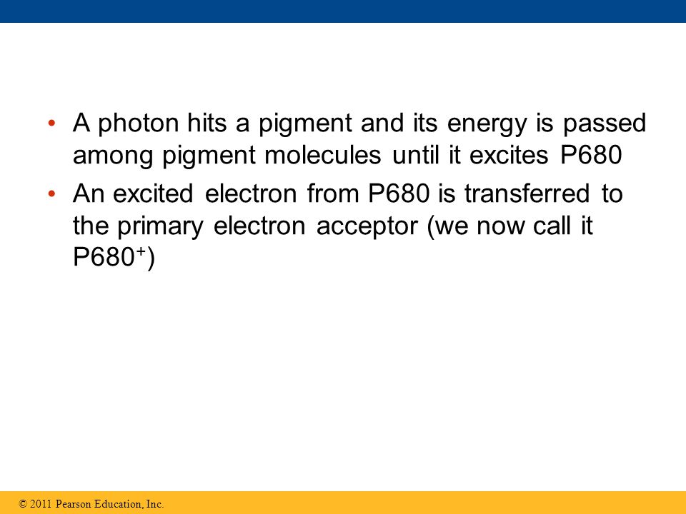 A photon hits a pigment and its energy is passed among pigment molecules until it excites P680 An excited electron from P680 is transferred to the pri