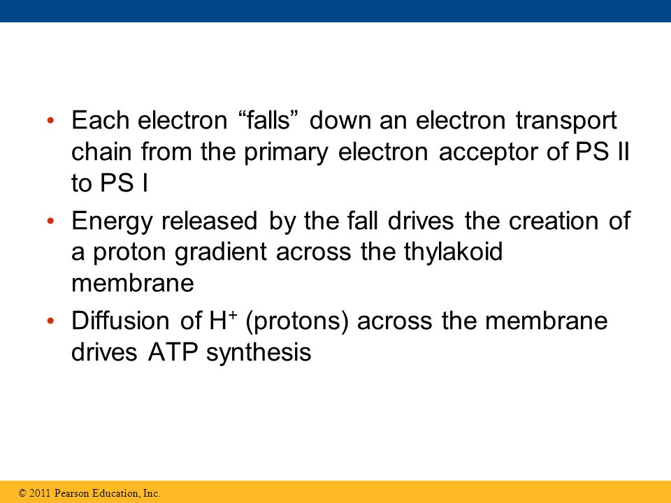 """Each electron """"falls"""" down an electron transport chain from the primary electron acceptor of PS II to PS I Energy released by the fall drives the crea"""