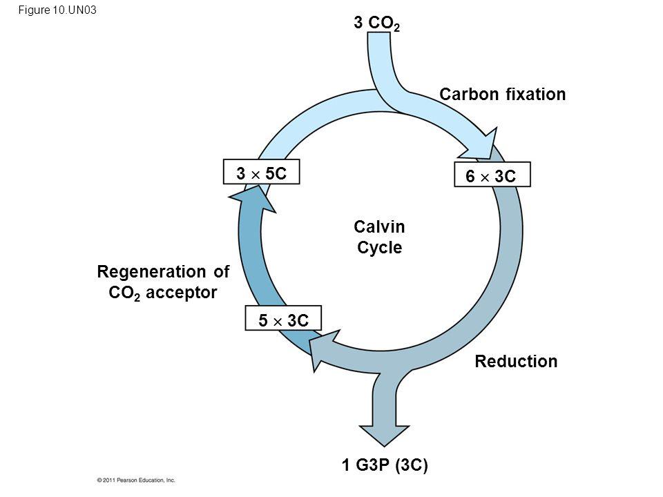 Regeneration of CO 2 acceptor Carbon fixation Reduction Calvin Cycle 1 G3P (3C) 5  3C 3  5C 6  3C 3 CO 2 Figure 10.UN03