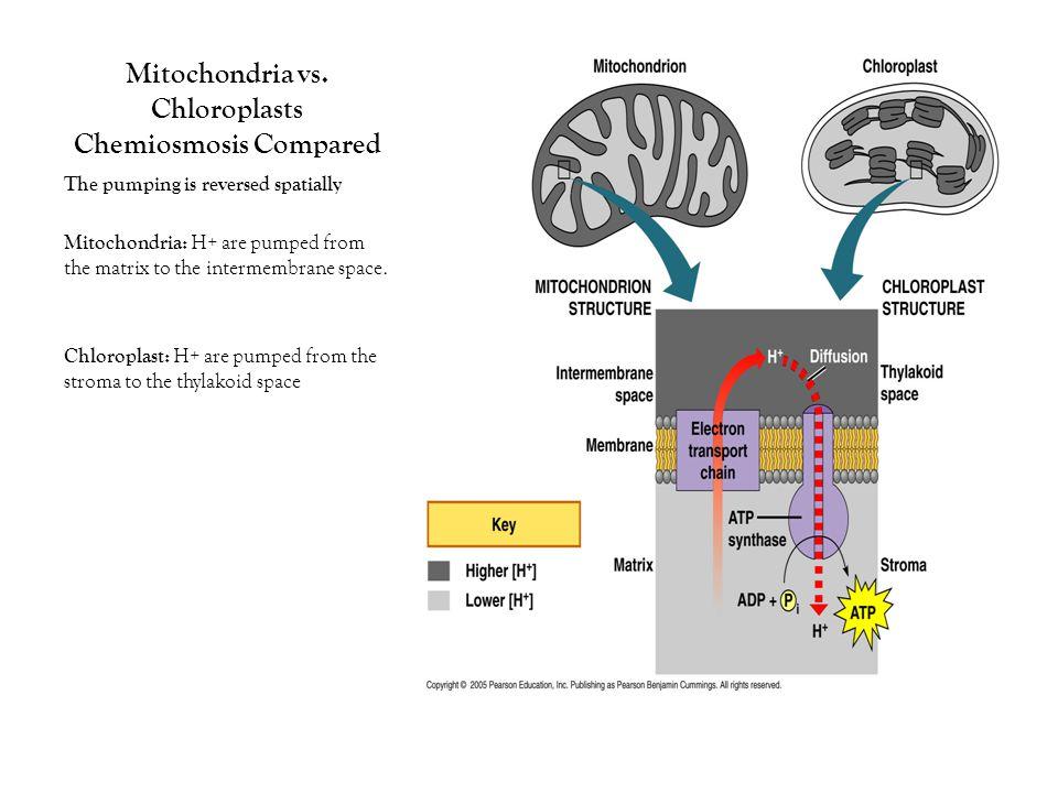 Mitochondria vs.