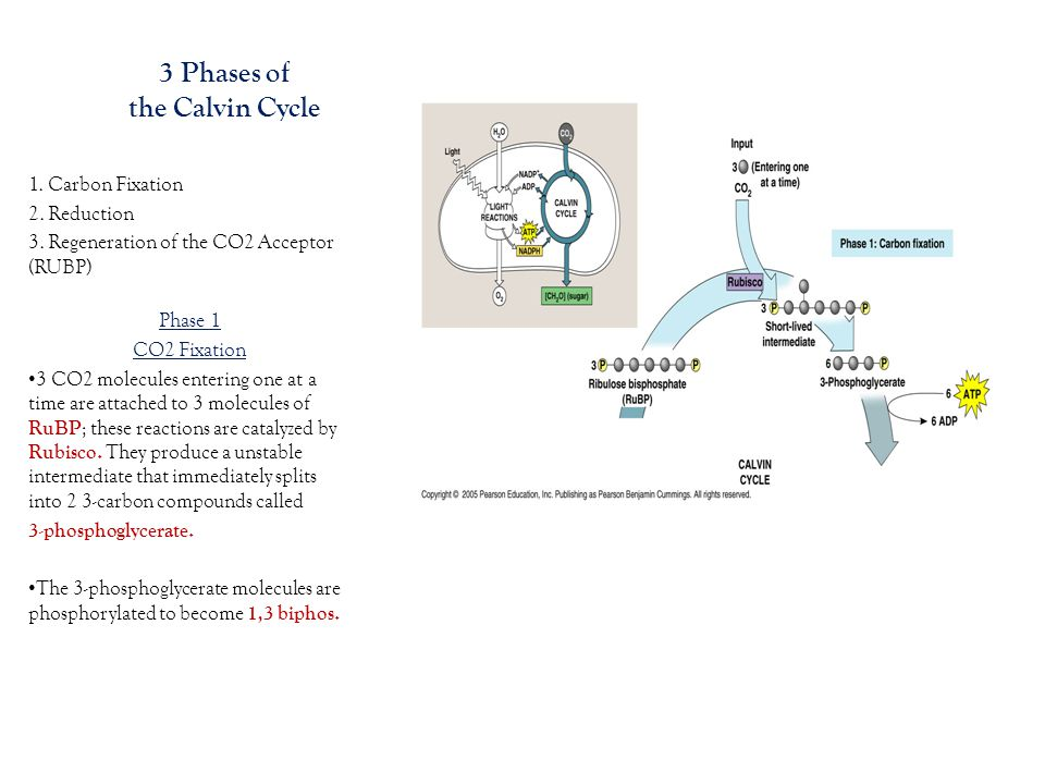 3 Phases of the Calvin Cycle 1. Carbon Fixation 2.