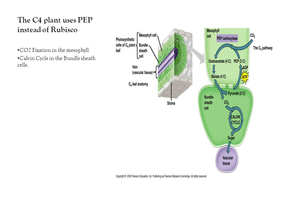 The C4 plant uses PEP instead of Rubisco CO2 Fixation in the mesophyll Calvin Cycle in the Bundle sheath cells.
