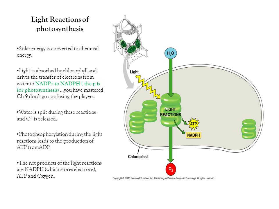 Light Reactions of photosynthesis Solar energy is converted to chemical energy.