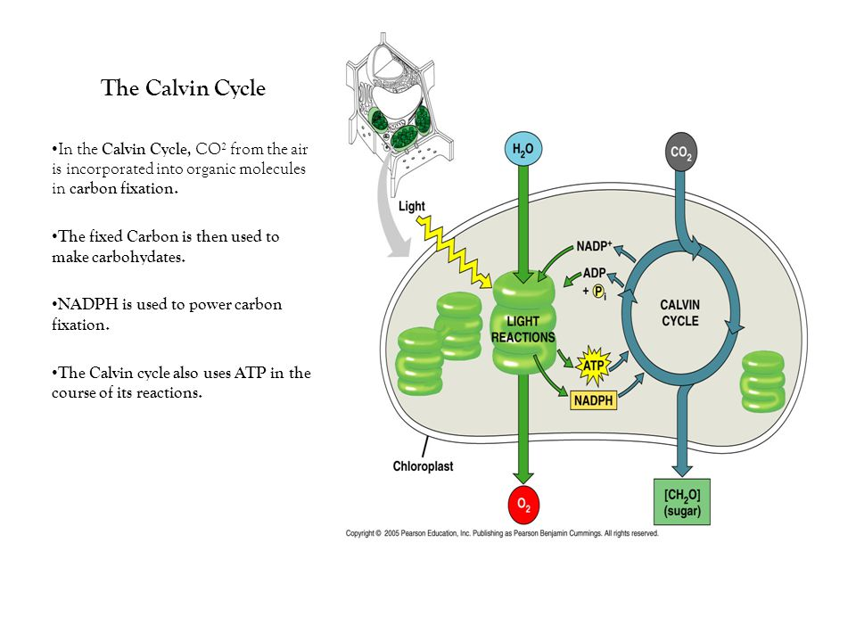 The Calvin Cycle In the Calvin Cycle, CO² from the air is incorporated into organic molecules in carbon fixation.