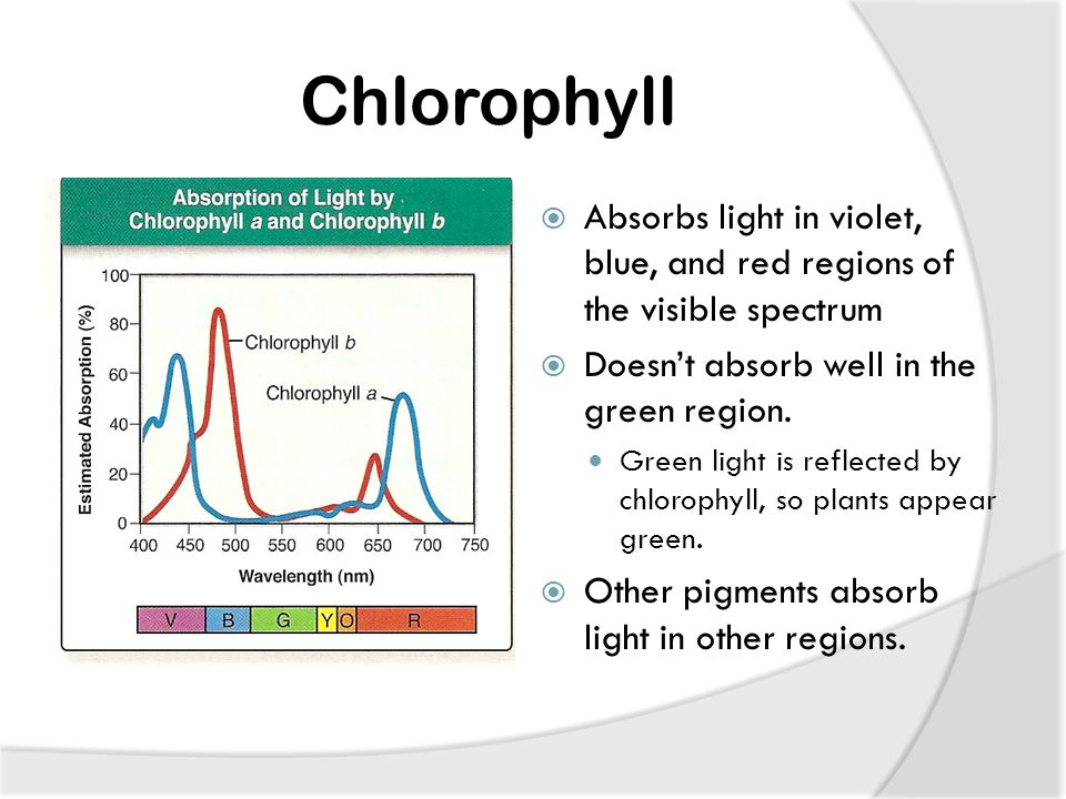 Chlorophyll  Absorbs light in violet, blue, and red regions of the visible spectrum  Doesn't absorb well in the green region.