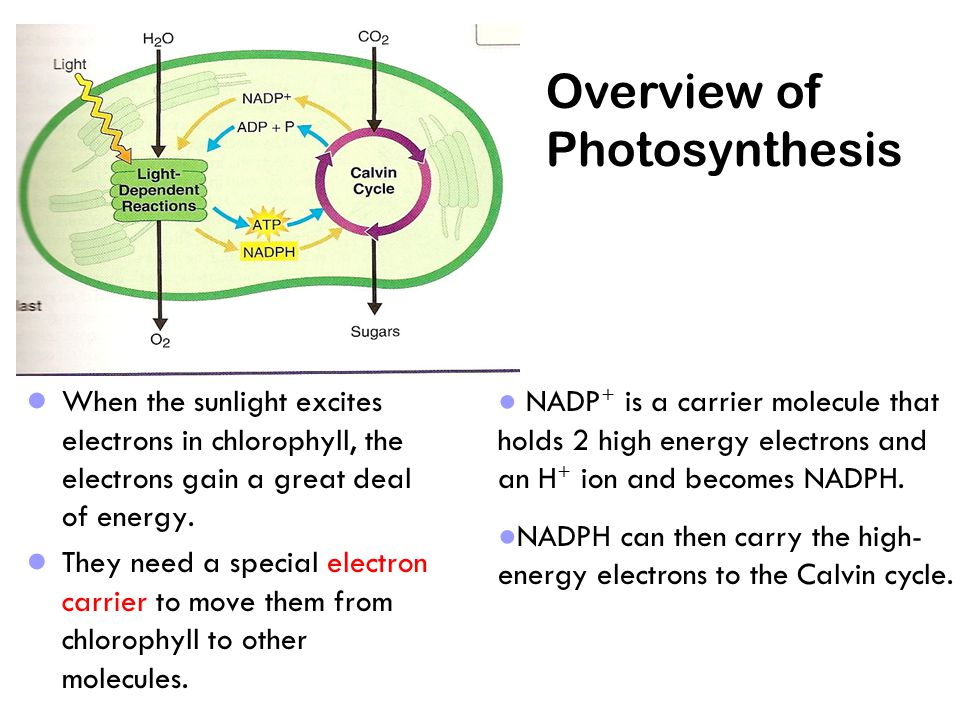 ● When the sunlight excites electrons in chlorophyll, the electrons gain a great deal of energy.