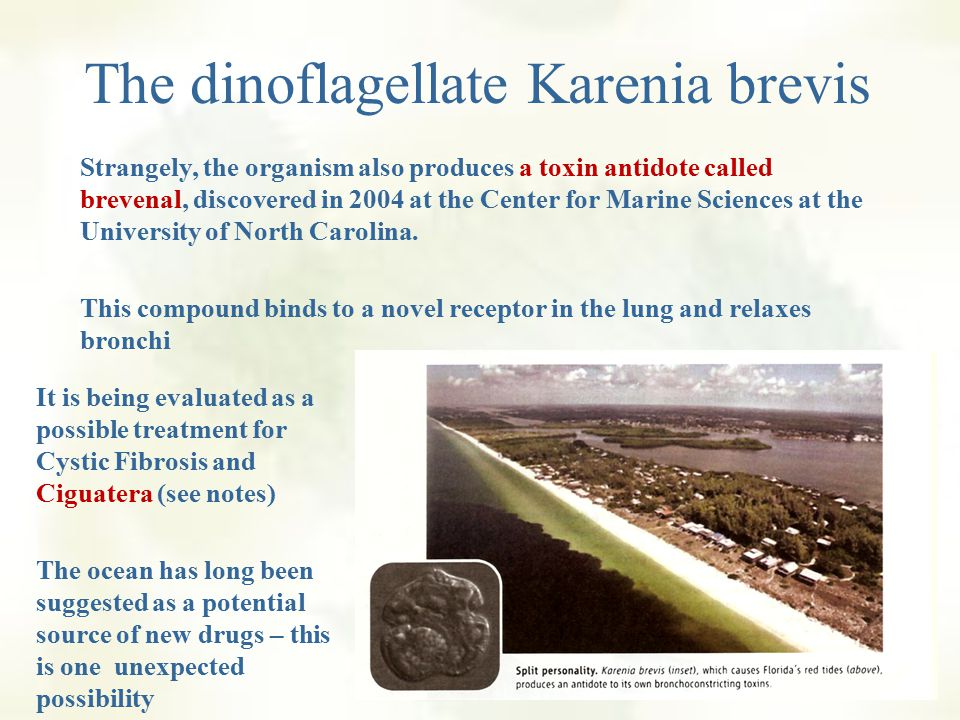 The dinoflagellate Karenia brevis Karenia brevis packs a powerful punch for a tiny organism The culprit behind Florida's notorious red tides Produces a dozen toxins When coupled with on onshore breeze, the organism's airborn toxins (brevetoxins) constrict bronchioles and send asthmatics and other people with breathing difficulties scrambling for treatment