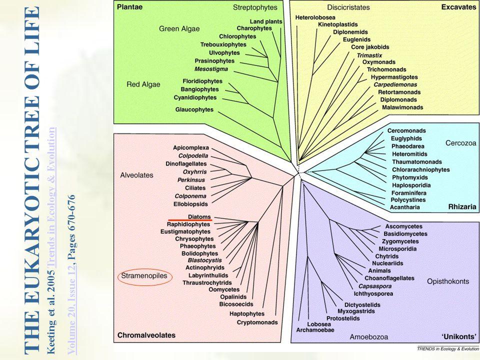 Diatoms Stramenopiles PHYLUM BACILLARIOPHYTA DIATOMS