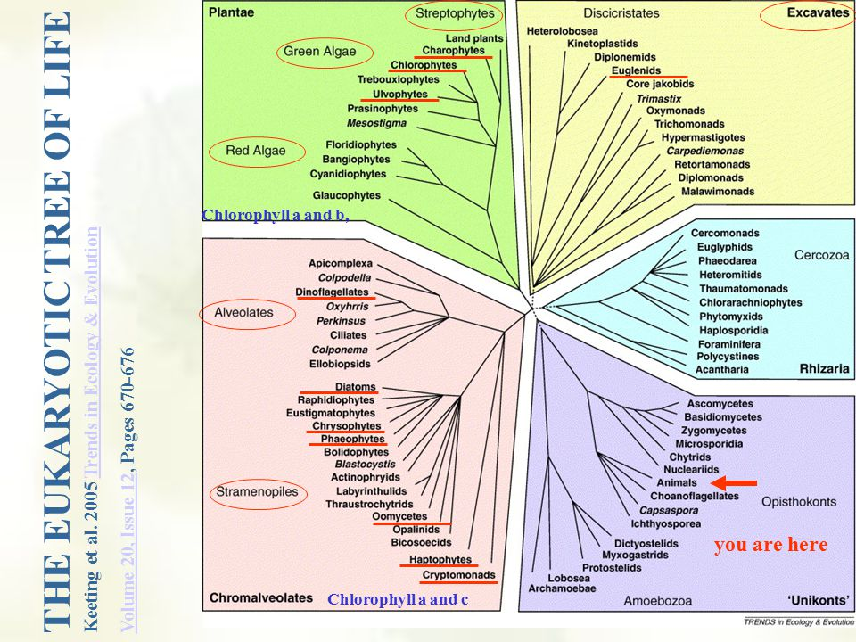 Learning objectives Know the three major evolutionary lineages and what is included in each lineage Chromalveolates (Alveolates, Stramenopiles) Excavates (Euglena) Plantae (Red algae, Green algae, Charophytes) Ecosystem services provided by each group Human impacts of each group Required life cycle: Ulva (demonstrates sporic life cycle (aka alternation of generations)