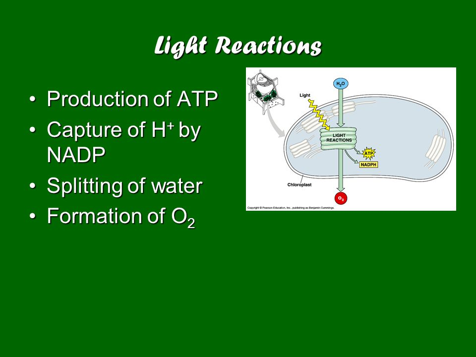 Light Reactions Production of ATPProduction of ATP Capture of H + by NADPCapture of H + by NADP Splitting of waterSplitting of water Formation of O 2Formation of O 2