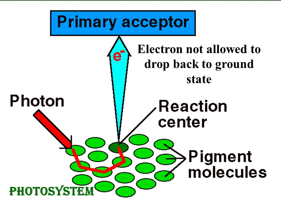 photosystem Electron not allowed to drop back to ground state