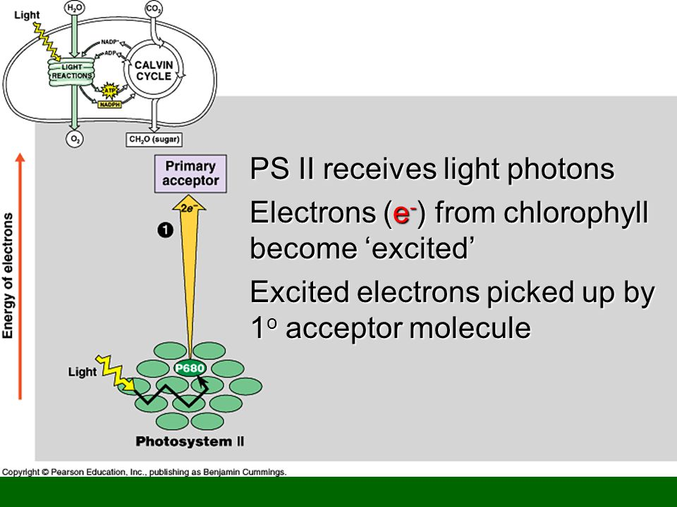 PS II receives light photons Electrons (e - ) from chlorophyll become 'excited' Excited electrons picked up by 1 o acceptor molecule