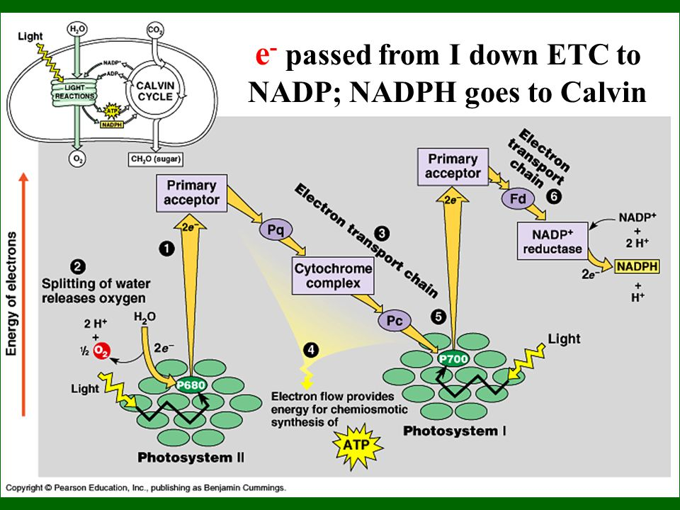 e - passed from I down ETC to NADP; NADPH goes to Calvin