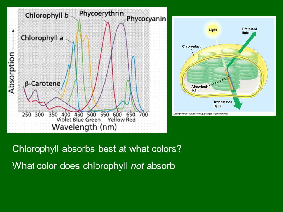 Chlorophyll absorbs best at what colors What color does chlorophyll not absorb