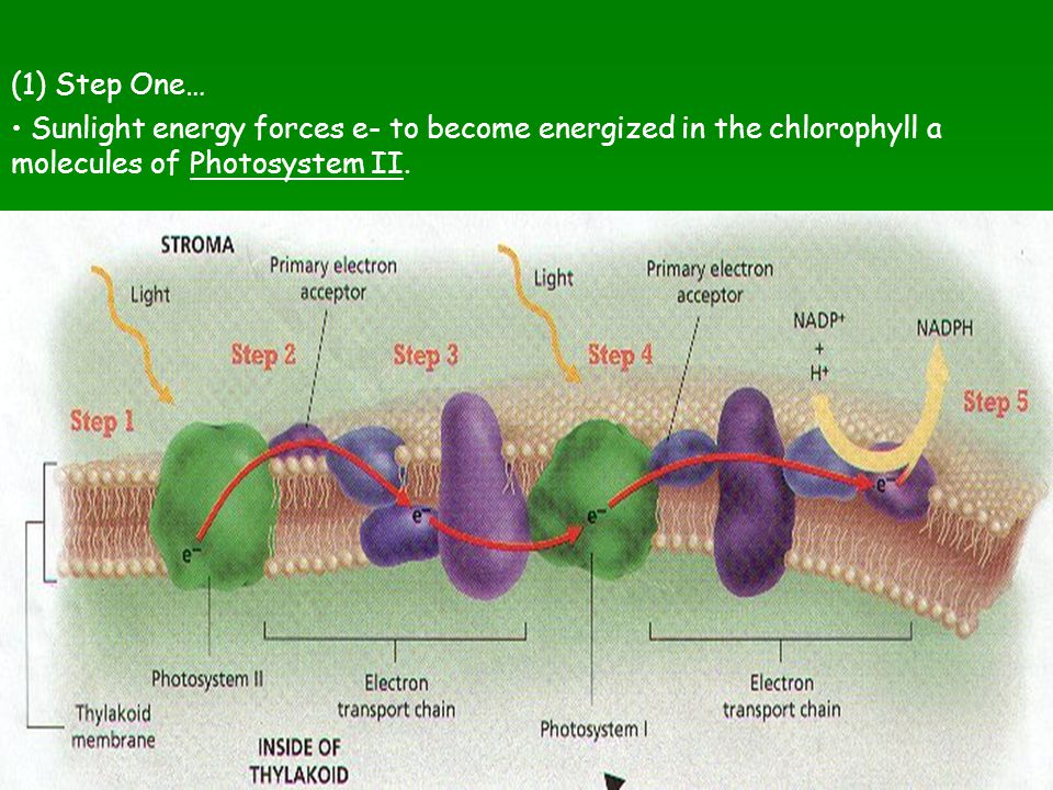 (1) Step One… Sunlight energy forces e- to become energized in the chlorophyll a molecules of Photosystem II.