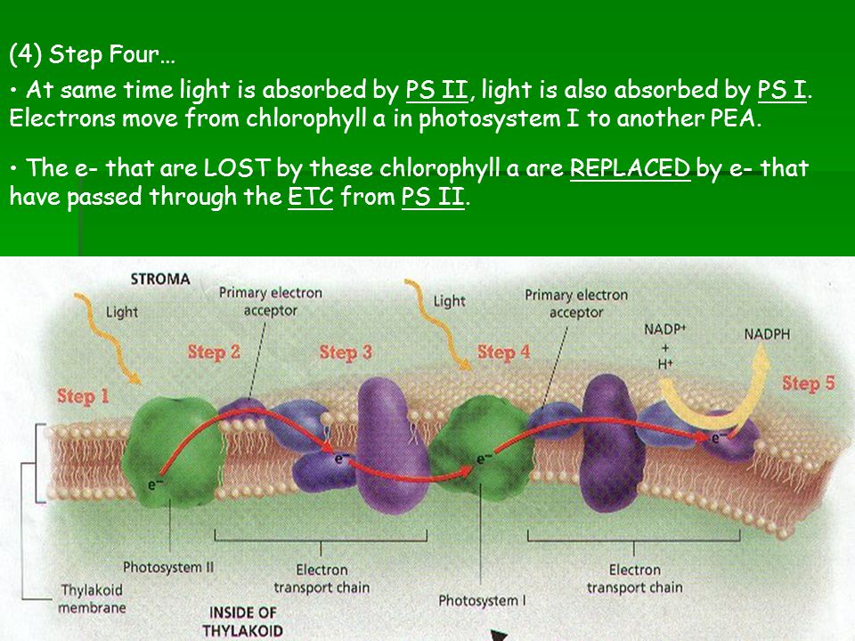(4) Step Four… At same time light is absorbed by PS II, light is also absorbed by PS I. Electrons move from chlorophyll a in photosystem I to another