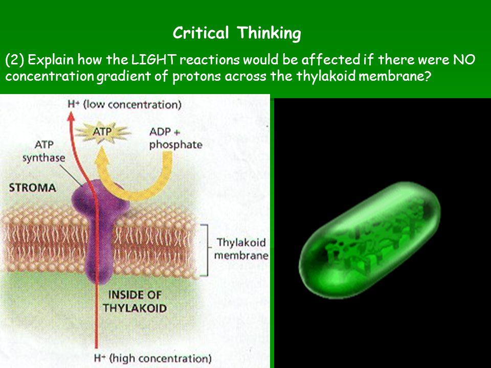 (2) Explain how the LIGHT reactions would be affected if there were NO concentration gradient of protons across the thylakoid membrane? Critical Think