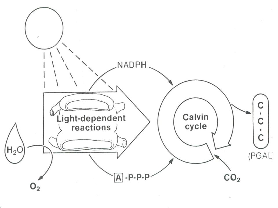 (1) C 3 Plants (OPEN stomata during the DAY) Fix carbon through Calvin cycle; named after the 3-C compound, PGA.