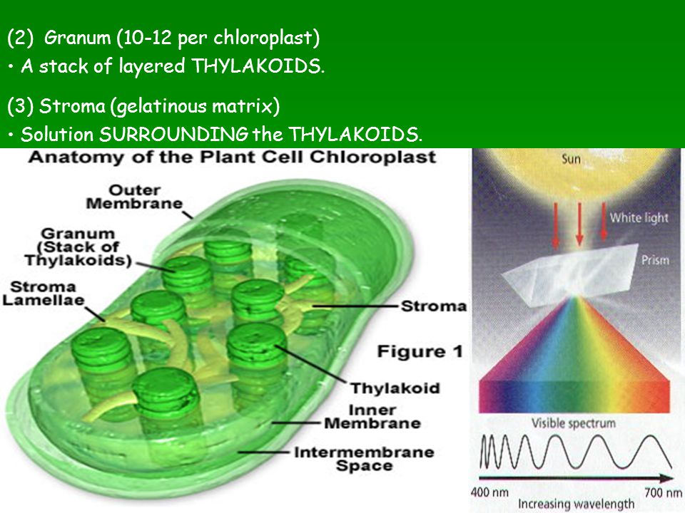 (2) Granum (10-12 per chloroplast) A stack of layered THYLAKOIDS. (3) Stroma (gelatinous matrix) Solution SURROUNDING the THYLAKOIDS.
