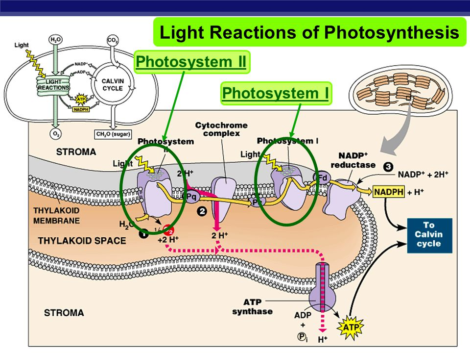 AP Biology Photosynthesis  Light reactions  light-dependent reactions  energy conversion reactions  convert solar energy to chemical energy  ATP & NADPH  Calvin cycle  light-independent reactions  sugar building reactions  uses chemical energy (ATP & NADPH) to reduce CO 2 & synthesize C 6 H 12 O 6