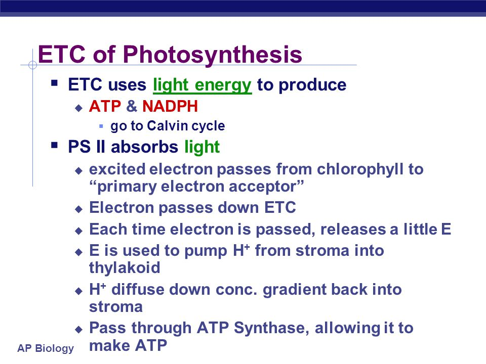 AP Biology ETC of Photosynthesis  ETC uses light energy to produce  ATP & NADPH  go to Calvin cycle  PS II absorbs light  excited electron passes from chlorophyll to primary electron acceptor  need to replace electron in chlorophyll  enzyme extracts electrons from H 2 O & supplies them to chlorophyll  splits H 2 O  O combines with another O to form O 2  O 2 released to atmosphere  and we breathe easier!