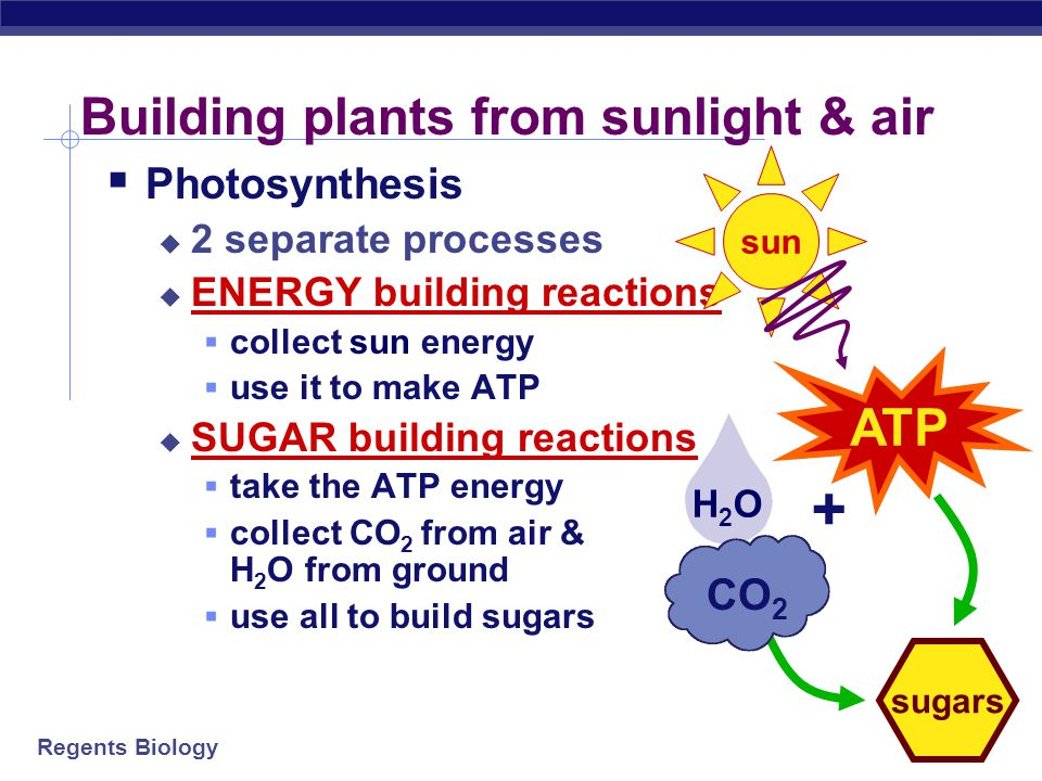 Regents Biology H2OH2O Building plants from sunlight & air  Photosynthesis  2 separate processes  ENERGY building reactions  collect sun energy  use it to make ATP  SUGAR building reactions  take the ATP energy  collect CO 2 from air & H 2 O from ground  use all to build sugars ATP sun sugars + CO 2