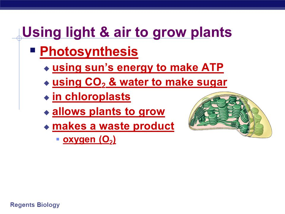 Regents Biology H2OH2O Building plants from sunlight & air  Photosynthesis  2 separate processes  ENERGY building reactions  collect sun energy  use it to make ATP  SUGAR building reactions  take the ATP energy  collect CO 2 from air & H 2 O from ground  use all to build sugars ATP sun sugars + CO 2