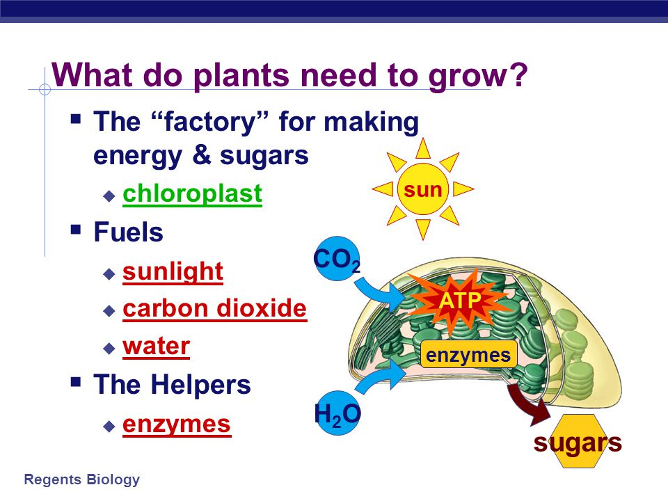 Regents Biology Using light & air to grow plants  Photosynthesis  using sun's energy to make ATP  using CO 2 & water to make sugar  in chloroplasts  allows plants to grow  makes a waste product  oxygen (O 2 )