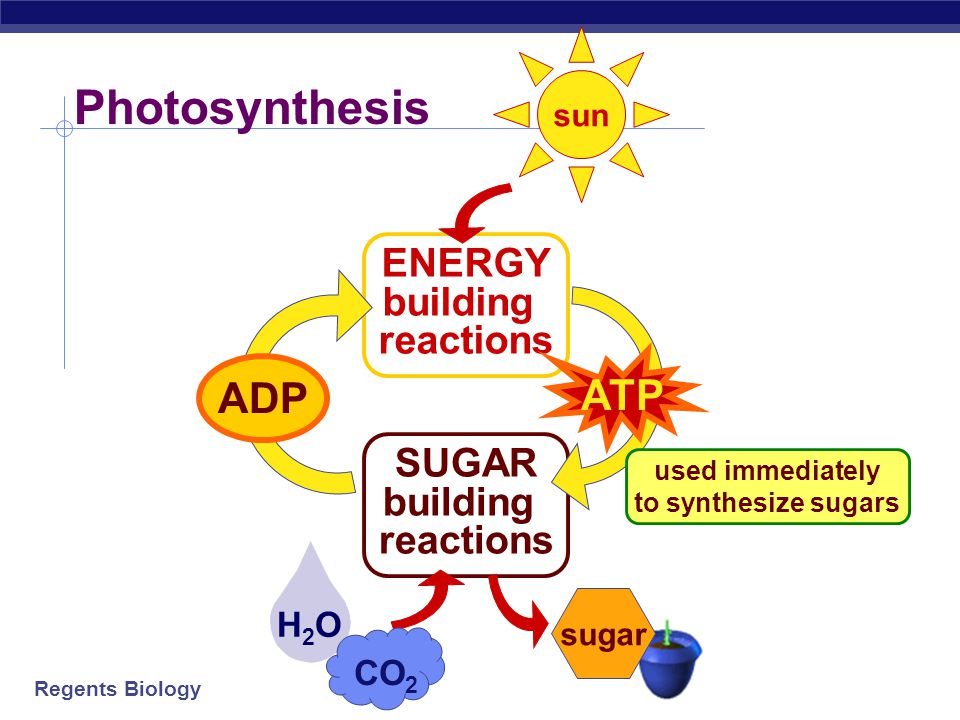 Regents Biology H2OH2O Photosynthesis ENERGY building reactions SUGAR building reactions ATP ADP CO 2 sugar sun used immediately to synthesize sugars