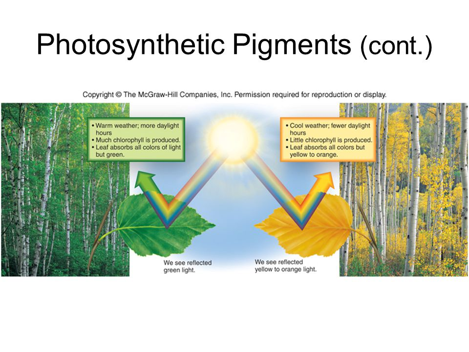 Photosynthetic Pigments (cont.)