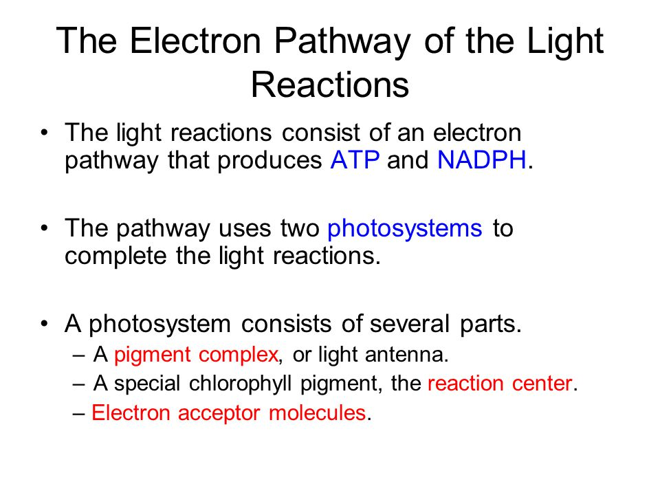 The Electron Pathway of the Light Reactions The light reactions consist of an electron pathway that produces ATP and NADPH. The pathway uses two photo