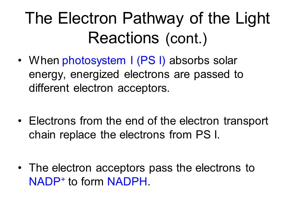 The Electron Pathway of the Light Reactions (cont.) When photosystem I (PS I) absorbs solar energy, energized electrons are passed to different electr