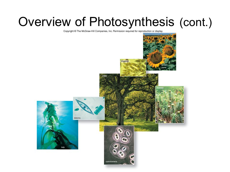 Photosynthetic Pigments The two primary pigments used during photosynthesis are chlorophylls and carotenoids.