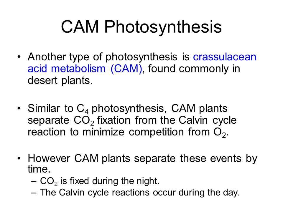 CAM Photosynthesis Another type of photosynthesis is crassulacean acid metabolism (CAM), found commonly in desert plants. Similar to C 4 photosynthesi