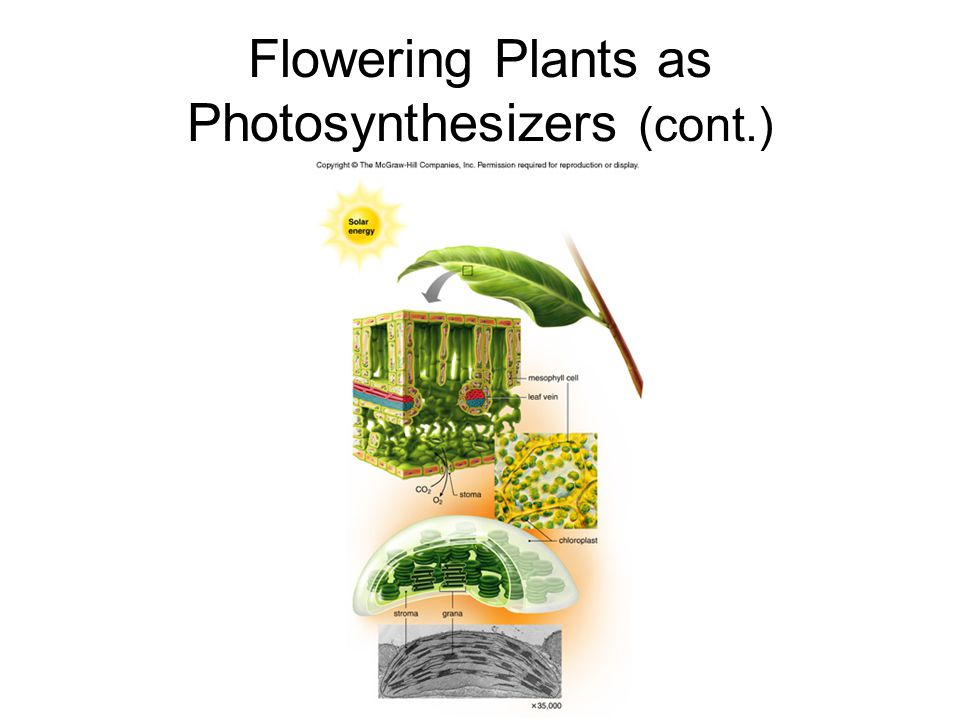 Flowering Plants as Photosynthesizers (cont.)